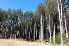Tall pines and grass under sunny skies Stock Images