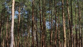 Pine trunks moving in the wind in the spring forest