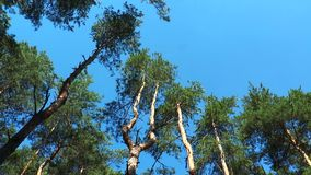 Tall pine trunks wind shakes stock video
