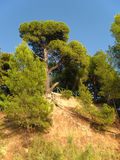 Tall pines. Tall pine on the cliff Royalty Free Stock Images
