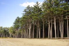 Tall Pines Royalty Free Stock Photo