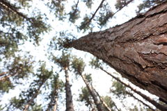 Tall Pines. An upward view along the trunk of a tall pine tree Stock Photography