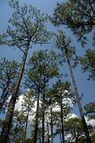 Tall pines. A forest of pine trees in the Ocala National Forest. Bright blue sky with clouds royalty free stock photography