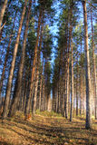 Tall pines in autumn forest Royalty Free Stock Photos