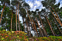 Tall pines. Blue beautiful sky brown green red ivy vines Royalty Free Stock Photography