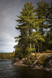Tall pines on lake shore Stock Photos