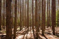 Tall Pines Stock Photo