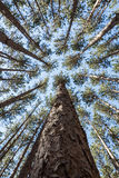 Tall Pines Royalty Free Stock Photography