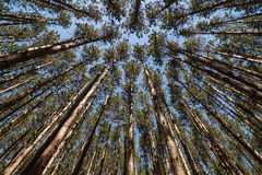 Tall Pines Royalty Free Stock Image