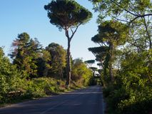 Tall pines near Rome Royalty Free Stock Photography