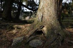 Tall pines Stock Photos