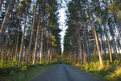 Tall pines and road in early morning light in northern Minnesota Stock Photography