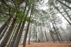 Tall pines and spruce on a foggy autumn November morning surrounded in fog. Stock Photo