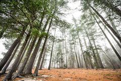Tall pines and spruce on a foggy autumn November morning surrounded in fog. Stock Photography