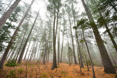 Tall pines and spruce on a foggy autumn November morning surrounded in fog. Royalty Free Stock Photography