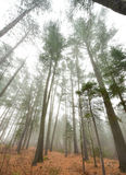 Tall pines and spruce on a foggy autumn November morning surrounded in fog. Royalty Free Stock Images