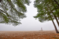Tall pines and spruce on a foggy autumn November morning surrounded in fog. Royalty Free Stock Photo
