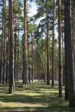 Tall pines and spruce forest. In the spring Stock Image