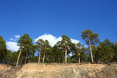 Tall pines on a steep slope Royalty Free Stock Photo