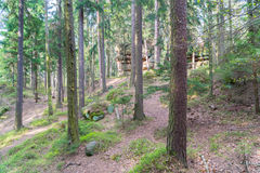 Tall pines on a steep slope Stock Photos