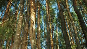 Tall pines stock footage