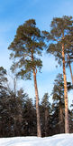 Tall pines in a winter forest Royalty Free Stock Image