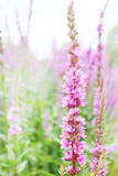 Tall pink flower with many buds similar to foxglove Stock Photography