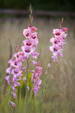 Tall pink flowers gladioli against muted background Royalty Free Stock Photography