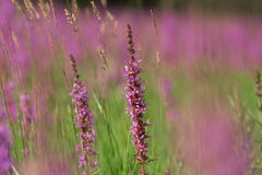 Tall pink  flowers in summer meadow Royalty Free Stock Photo
