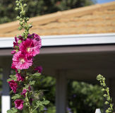 Tall pink hollyhock growing in front of house. The decorative tall pink hollyhock growing in front of the suburban house in late spring adds a touch of the Stock Image
