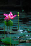 Tall pink lily flower with open leaves in pond. Royalty Free Stock Image