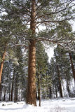 Tall Ponderosa Pine in the Snow. Vertical image of a tall ponderosa pine tree standing in a snowy forest Royalty Free Stock Photos