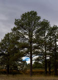 Tall Ponderosa Pine Trees. With a cloudy sky Royalty Free Stock Image