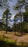 Tall Ponderosa Pine Trees and a Trail. Tall ponderosa pine trees with a cloudy sky Royalty Free Stock Image