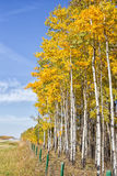 Tall poplar trees autumn Royalty Free Stock Image