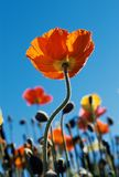 Tall Poppy Stock Photos