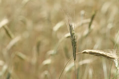 Tall Prairie Grass Meadow or field background Stock Image