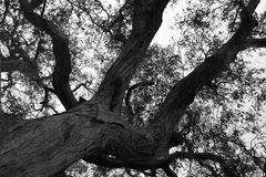 Tall And Proud. Tall Greyscale Tree Royalty Free Stock Image