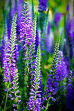 Tall purple flowers. Blooming in springtime Stock Photography