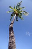 Tall Queen palm tree in prospective, near Anaeho'omalu bay.  Stock Photo