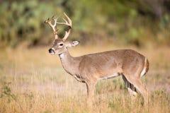 Tall rack whitetail broadside Stock Photo