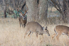 Tall racked whitetail buck moving in on doe Royalty Free Stock Images