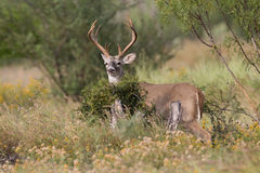 Tall racked whitetail buck standing behind brush Stock Photography