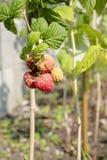 Tall raspberry bush close up royalty free stock photo