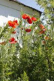 Tall red garden poppy flowers Papaver somniferum, in a green garden against a white country house wall in summer sun. royalty free stock images