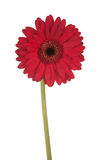 Tall Red Gerber daisy Stock Photos