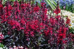 Tall red lobelias in a garden. Stock Image