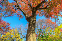 Tall red trees with blue sky background Royalty Free Stock Images