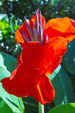 Tall red tropical flowers. Stock Photography
