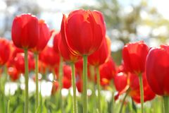 Tall Red Tulips on Sunny Day. Big bright tulips photographed from ground level on a sunny day. Angle was chosen to maximize height and majestic look of these stock photos